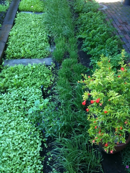 Mesclun greens, garlic chives, flat parsley & flowering dwarf pomegranate in production garden this morning
