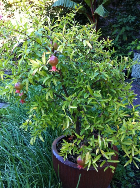 My dwarf pomegranate is producing more than ever thus year!!