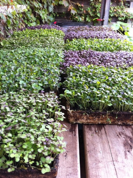 Cool Chicago fall weather.  The microgreens we're harvesting today for our restaurant are really beautiful.