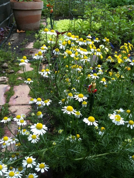 Tranquil moment in the garden. Chamomile smells like aromatic little apples. Ready to harvest