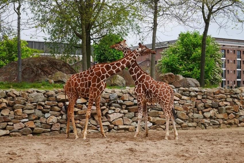 giraffes #artis