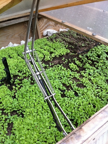 Under the cold frames the lettuces are thriving. A coupla weeks til they&#039;re ready to harvest
