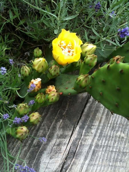 Prickly pear cactus in bloom.  Winter hardy for Chicago (honestly!). Collected wild from Lake Mich shore
