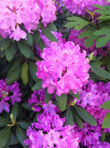 Rhododendron from my garden. Photo by  @craigdog