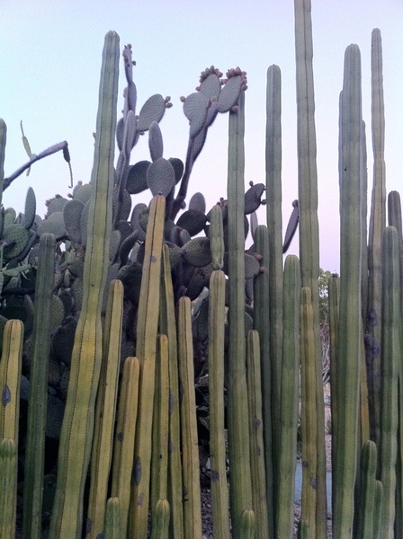 "Oax Ethnobotanic Garden: nopal cactus in fruit ""fenced off"" by organ cactus"