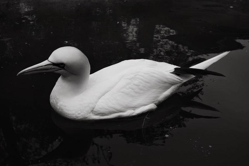 drijfvogel, niet een eend zijnde #artis