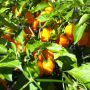 This is going to be a bumper crop of habaneros!