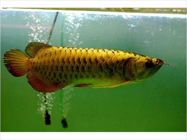 Asian red arowana fises for sale and stingrays for sale by for Arowana fish for sale online